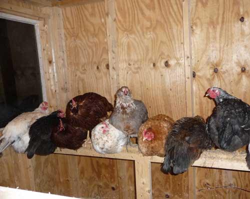 Chickensforbed